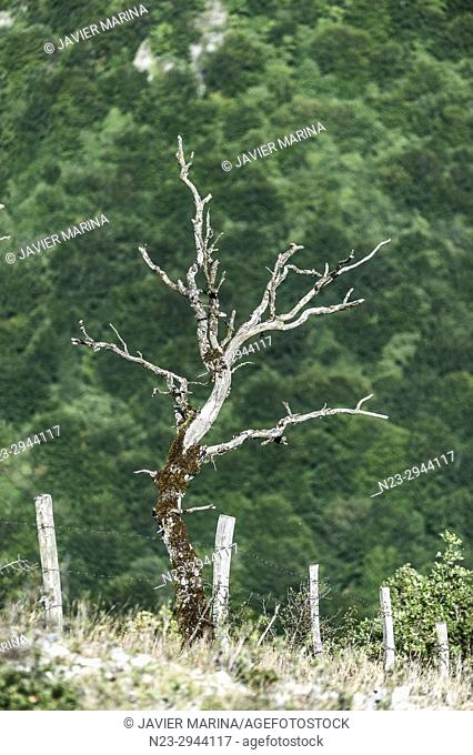 Tree without leaves in the Necedero de Urederra, Baquedano, Navarre, Spain
