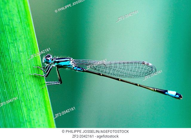 France, Brittany, Ille et Vilaine, an agrion on a grass