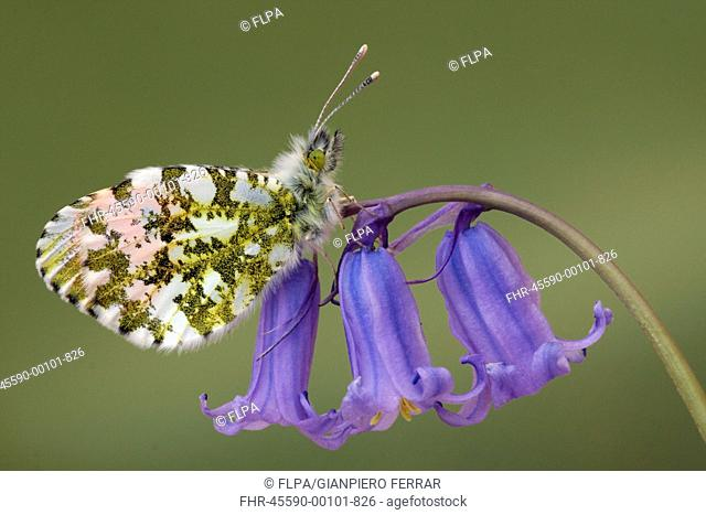 Orange-tip Butterfly Anthocharis cardamines adult male, underside, roosting on Bluebell Endymion non-scriptus flowers in woodland, Leicestershire, England, may