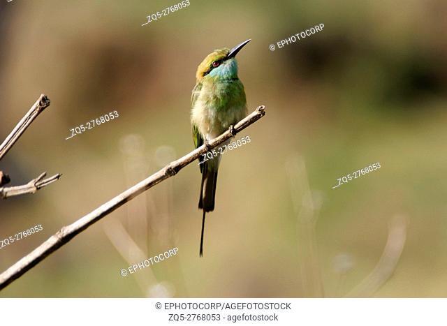Green Bee-Eater, Merops orientalis, Sinhagad Valley, Western Ghats, Maharashtra, India