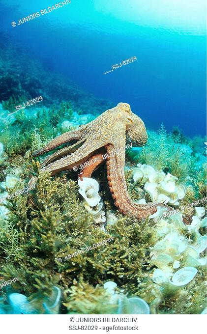 octopus vulgaris / common octopus