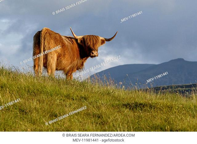 Highland cattle cow grazing on flield Scotland, United Kingdom