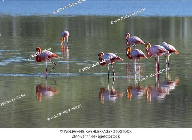 Greater flamingos (Phoenicopterus roseus) feeding in a lagoon at Point Cormorant of Floreana Island in the Galapagos National Park, Galapagos Islands, Ecuador