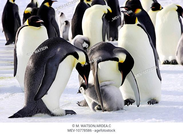 Emperor Penguin - adults and chicks. (Aptenodytes forsteri)