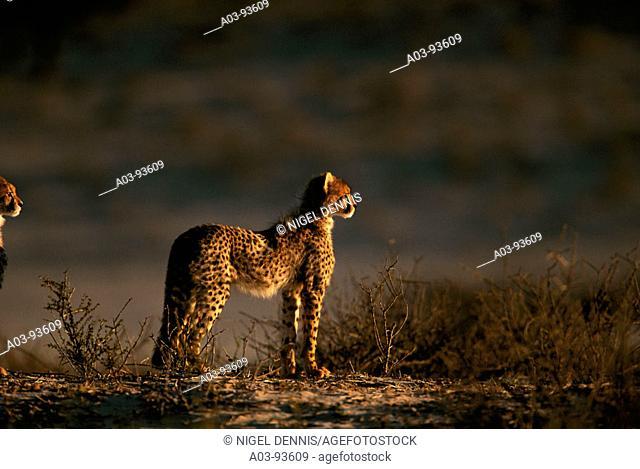 Cheetah (Acinonyx jubatus). Kalahari-Gemsbok National Park, South Africa