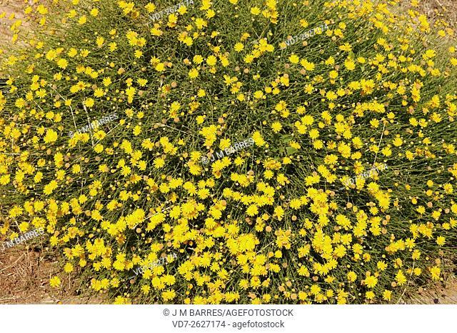 Cladanthus scariosus or Ormenis scariosa is a palnt native to Mediterranean region. Angiosperms. Asteraceae. This photo was taken in Barcelona Botanical Garden