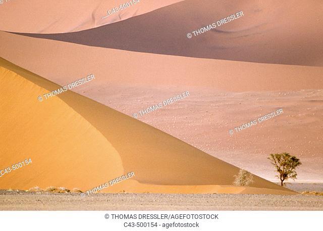 Camelthorn tree (Acacia erioloba) and sand dunes in the Namib Desert. Namib-Naukluft Park, Namibia