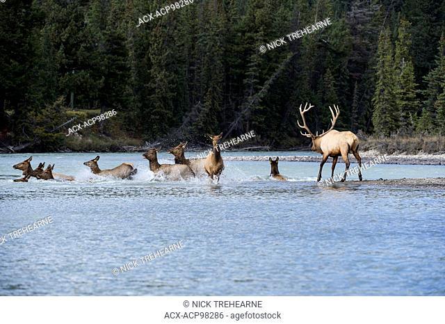 Cervus canadensis nelsoni, rocky mountain elk, rut, Alberta, Canada, crossing river