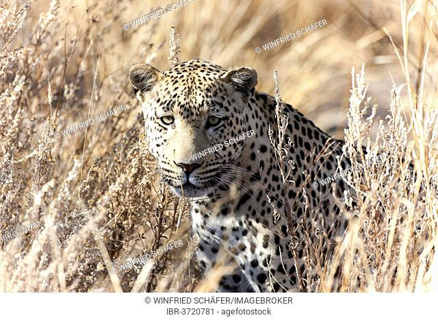 Leopard (Panthera pardus) in the high grass, Dusternbrook, Otjozondjupa Region, Namibia