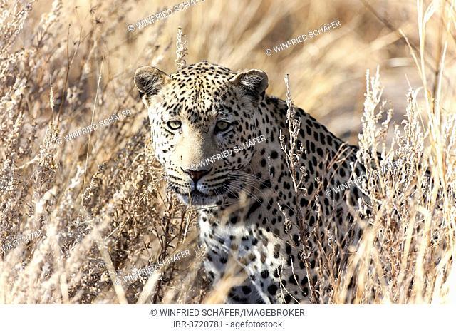 Leopard (Panthera pardus) in the high grass, Dusternbrook, Otjozondjupa Region, Namibia