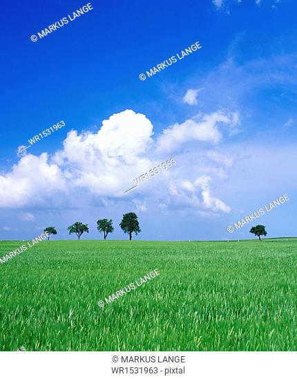 Trees on a cornfield, Hartsfeld, Swabian Alb, Baden Wurttemberg, Germany, Europe