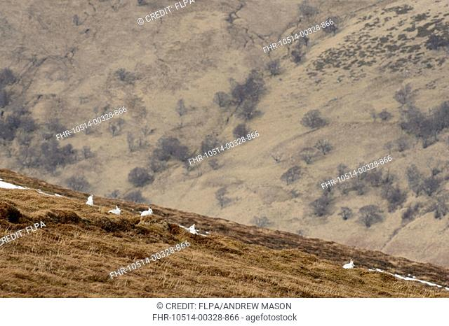 Mountain Hare (Lepus timidus) five adults, in winter coat, sitting in moorland habitat, Cairngorms N.P., Grampian Mountains, Highlands, Scotland, February