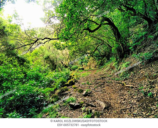 Laurisilva - Laurel Forest on Hierro, Canary Islands, Spain