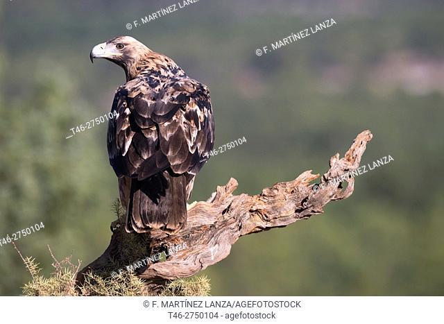 Spanish imperial eagle (Aquila adalberti). Sierra de Guadarrama, Madrid province, Spain