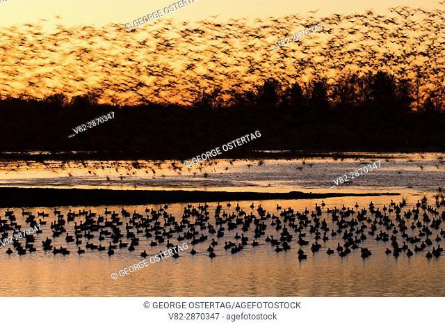 Canada geese (Branta canadensis) in flight at dawn at Eagle Marsh, Ankeny National Wildlife Refuge, Oregon