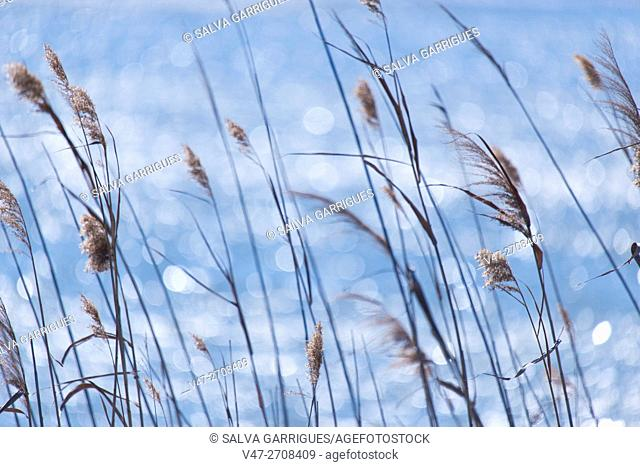 Reeds on the banks of Lake Saler, Valencia, Spain, Europe