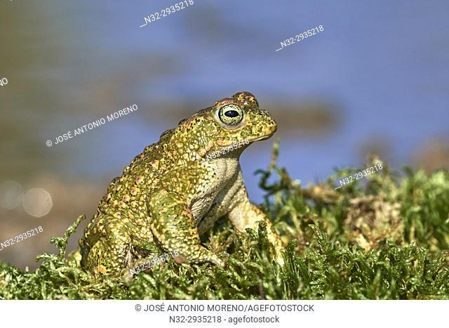 Sapo Corredor, Natterjack Toad, Bufo calamita, Benalmadena, Malaga, Andalusia, Spain