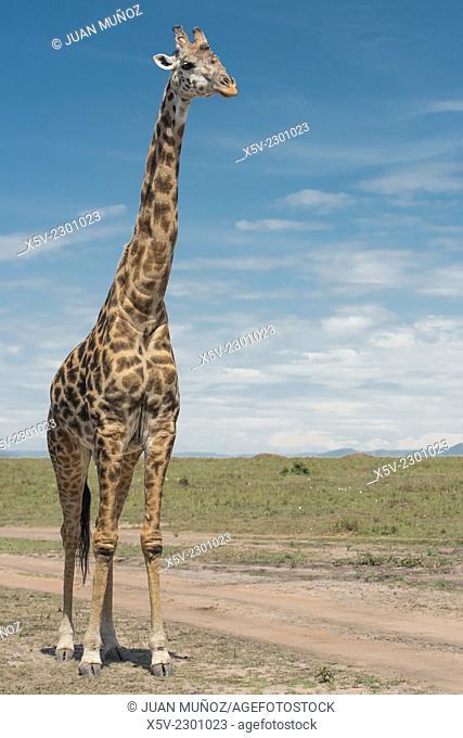 Giraffe. Vertical plane. Giraffa camelopardalis. Masai Mara NP