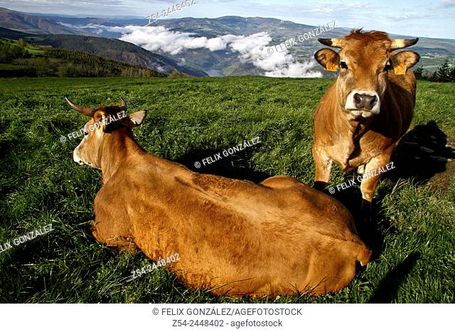Cows at Grandas de Salime, Asturias, Spain