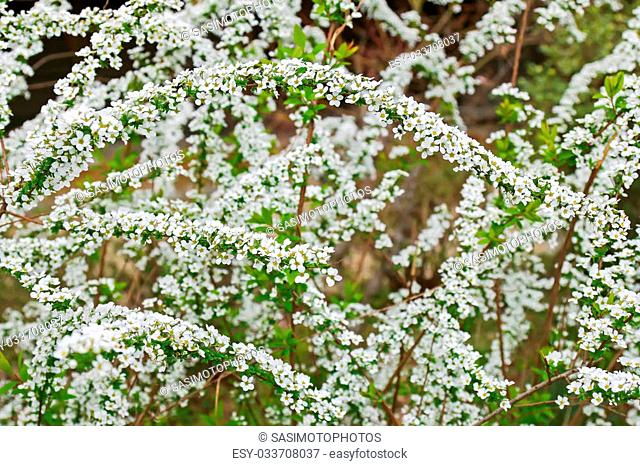 White Spiraea alpine spring flower blossoming in Japan