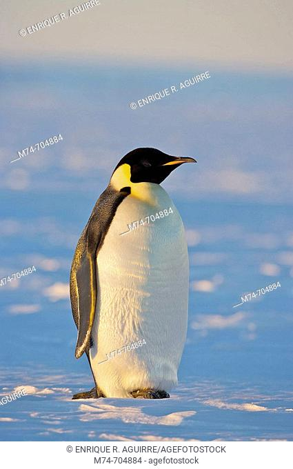 Emperor Penguin Aptenodytes forsteri, Weddel Sea, Antarctica