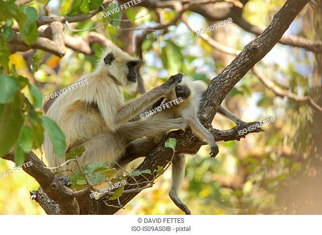 Langur monkey - Semnopithecus entellus, Satpura National Park, Madhya Pradesh India