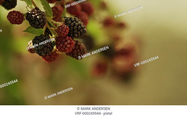 Close up panning shot of hand picking raspberries from branch / Cedar Hills, Utah, United States