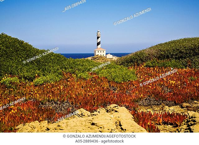 Lighthouse. Favaritx Cape. Carpobrotus edulis invading Pistacia lentiscus. S Albufera des Grau Natural Park. Menorca. Balearic island. Spain