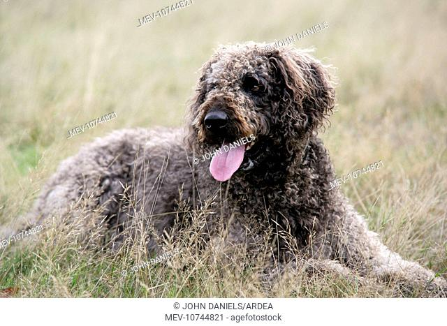 Dog - Labradoodle