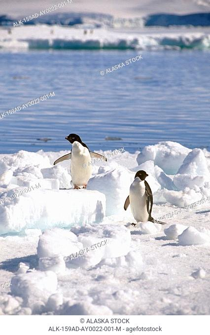Adelie Penguins Standing on Iceberg Antarctica