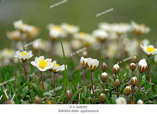 Mountain avens (Dryas octopetala), blooming, Austria, Tyrol, Hahntennjoch