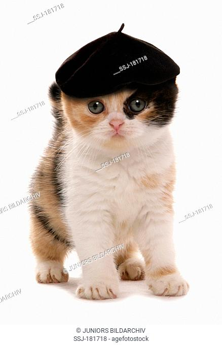 Scottish Fold cat. Kitten wearing Basque-style baret. Studio picture against a white background