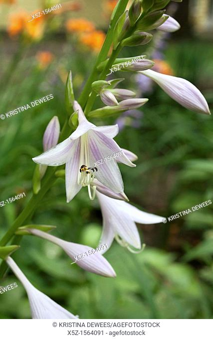 Some white Hosta blooms with faint stripes in Summer