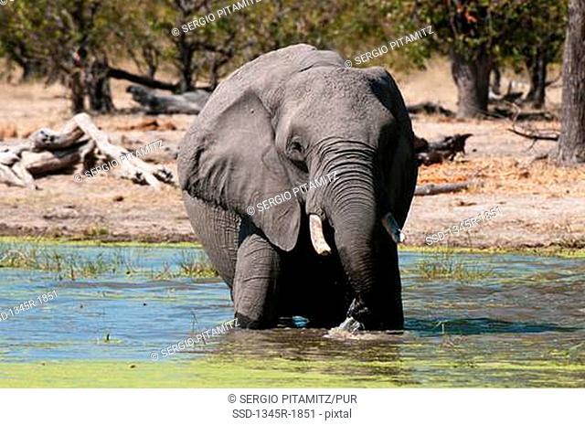 African elephant Loxodonta africana wading in water, Savuti Channel, Linyanti, Botswana