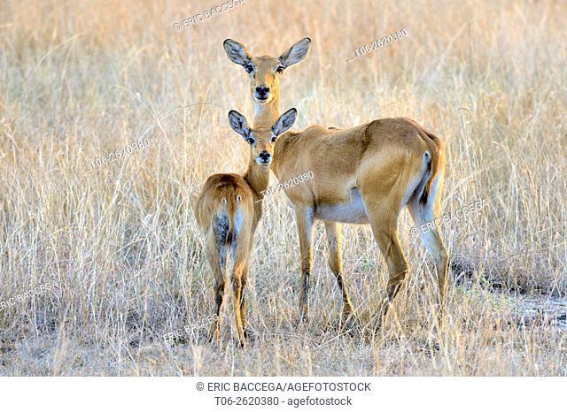 Uganda Kob (Kobus kob thomasi), female and baby in alert, Queen Elizabeth National Park, Uganda, Africa