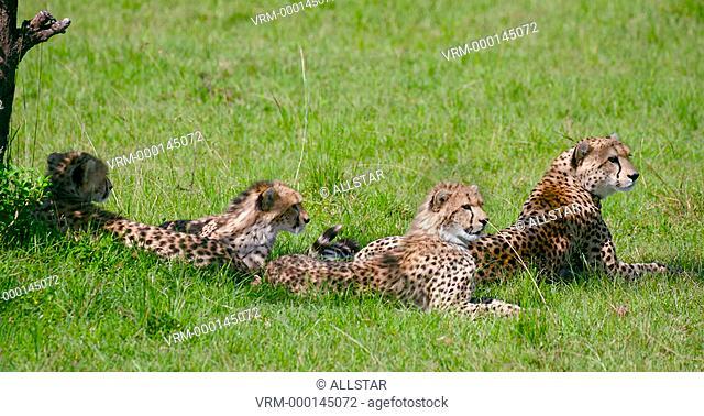 THREE CHEETAH CUBS & MOTHER RELAXING; MAASAI MARA, KENYA, AFRICA; 01/02/2016
