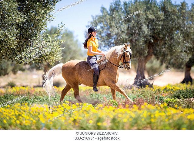 Barb Horse. Rider on palomino stallion galloping in a flowering landsacpe. Tunisia