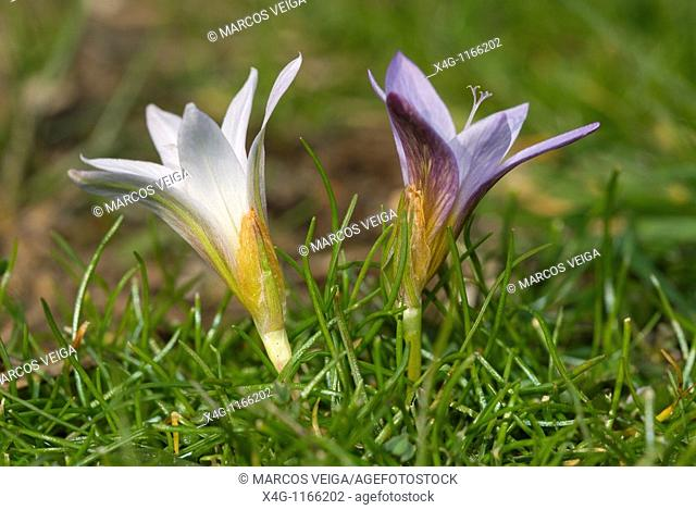 Crocus-leaved romulea Romulea bulbocodium