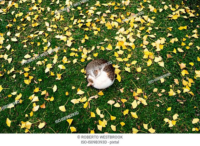 Cat sleeping on grass, surrounded by ginkgo leaves, Buenos Aires, Argentina