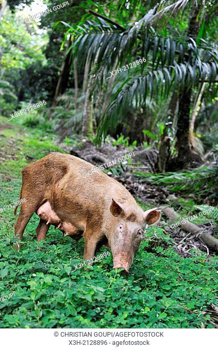 semi-wild pig on the small Rolas turtledove island in the south of Sao Tome Island, Republic of Sao Tome and Principe, Africa