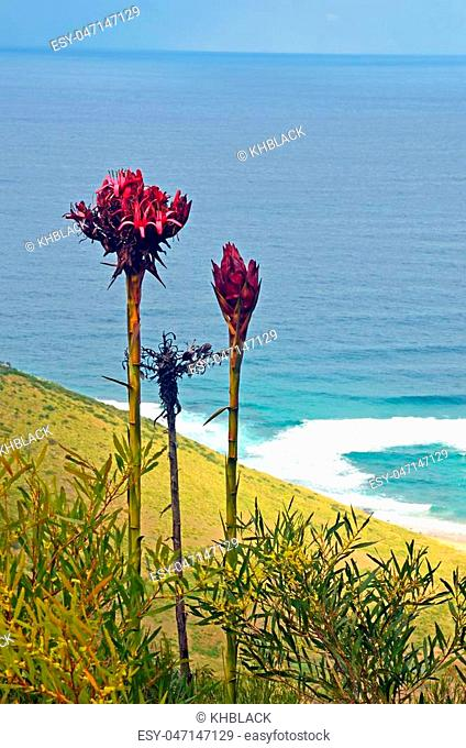 Tall flower spikes of the Gymea Lily (Doryanthes excelsa) growing near Garie beach, Royal National Park. Also known as the Flame Lily or Spear Lily