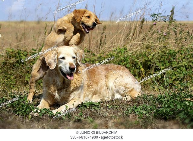 Golden Retriever. Puppy (9 weeks old) jumping over its lying mother (11,5 years old). Germany