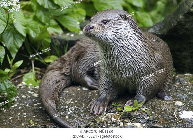European Otter Lutra lutra