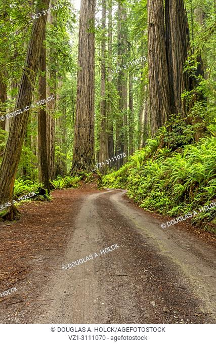 A break in rain lights the forest with sun along Cal Barrel Road in Prarie Creek Redwoods State Park, California, USA