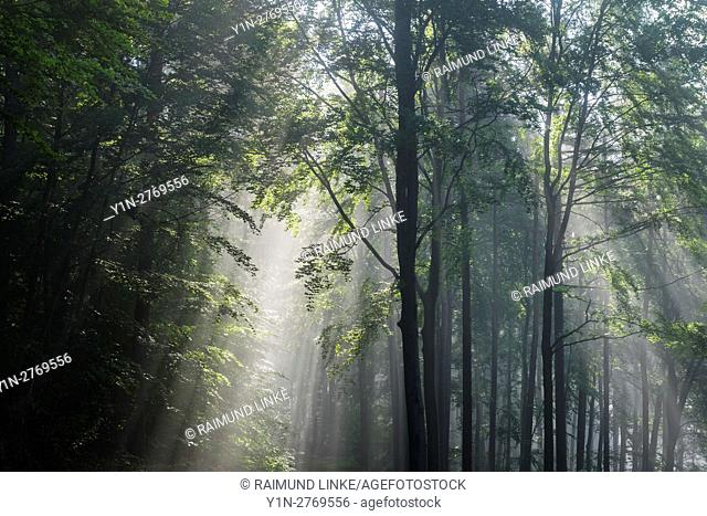 Forest with haze and sunbeams in the morning, Spring, Laudenbach, Bavaria, Germany