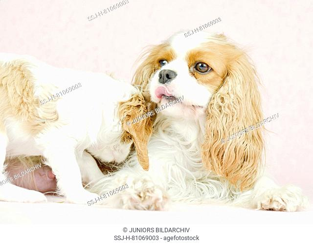 Cavalier King Charles Spaniel. Mother (3 years old) with puppy (7 weeks old). Studio picture against a pink background. Germany