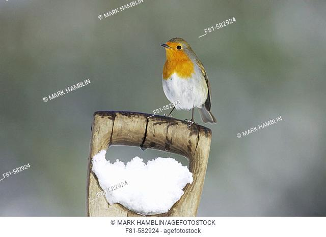 Robin (Erithacus rubecula) adult perched on spade handle in snow. Scotland. March 2006