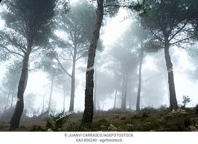 Fog at pine forest, Sierra Calderona natural park, Comunidad valenciana, Spain