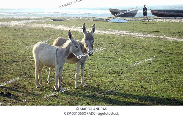 two donkeys animals at the ceara beach