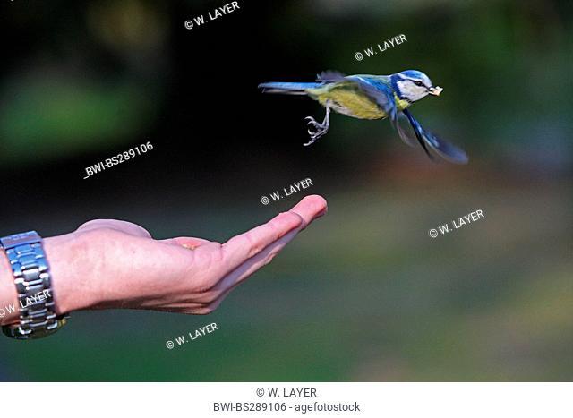 blue tit (Parus caeruleus, Cyanistes caeruleus), leaving hand with grain in its beak, Germany
